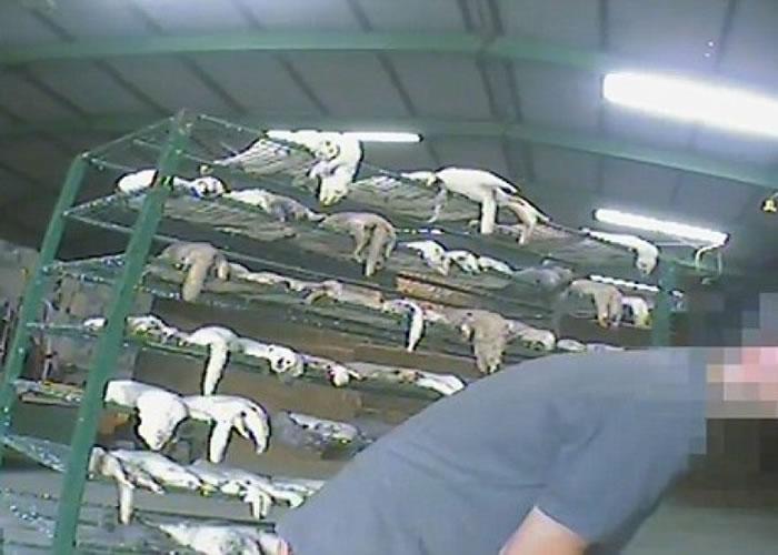 大批貂鼠被关在笼中。