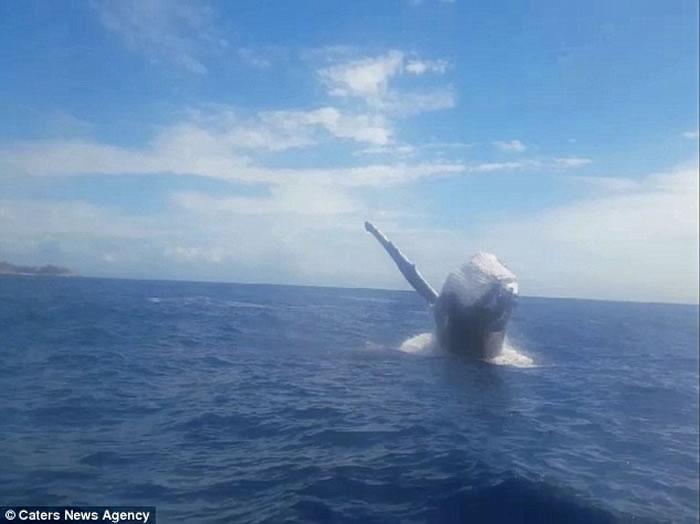 澳洲昆士兰男子滑水奇遇 巨型座头鲸两度咫尺跃现