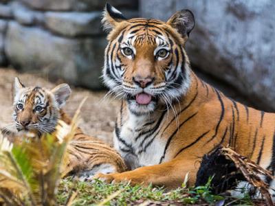 阿联酋通过新法严禁任何人饲养或交易大型猫科动物