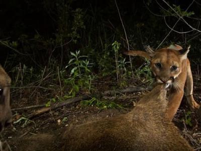 美国加州圣塔莫尼卡山国家保育区山狮妈妈被撞死 小山狮17天后也在同一条路遭辗毙