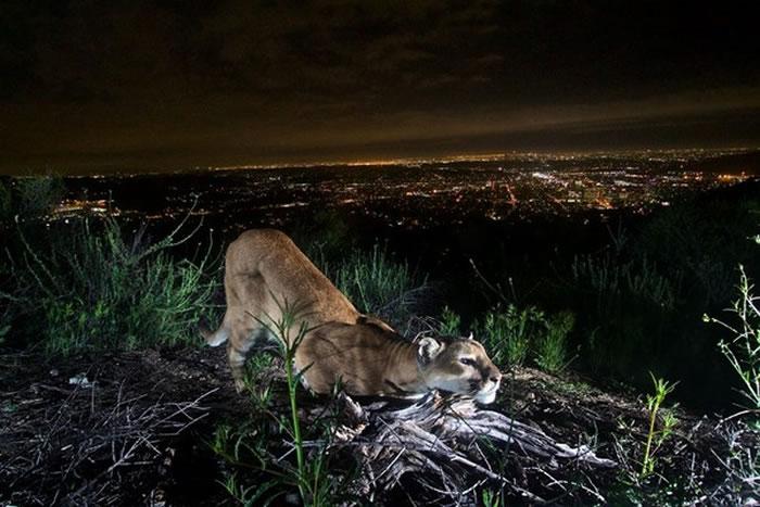 人类的生活圈和野生动物越来越接近。