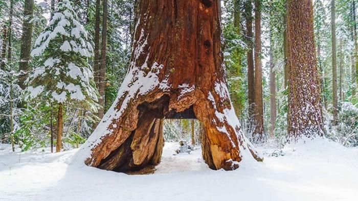 """美国加州卡拉韦拉斯大树公园相传屹立千年的""""隧道树"""""""