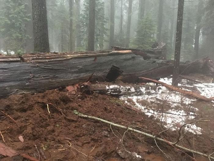 「隧道树」不敌暴风雨在8日倒塌。