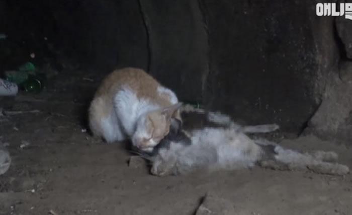 韩国流浪橘猫守着死亡多时的同伴尸体不愿离去