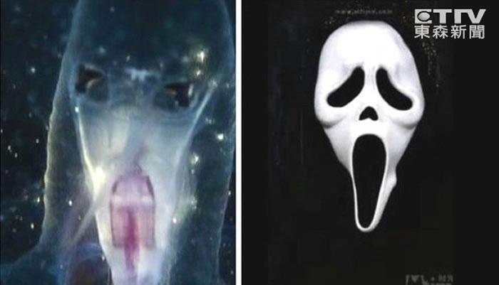 「海马翼管螺」完全无壳,呈圆筒状,体长约8至10公分,身体前端具有象鼻般的长吻,很像电影中的《惊声尖笑》中的鬼脸。