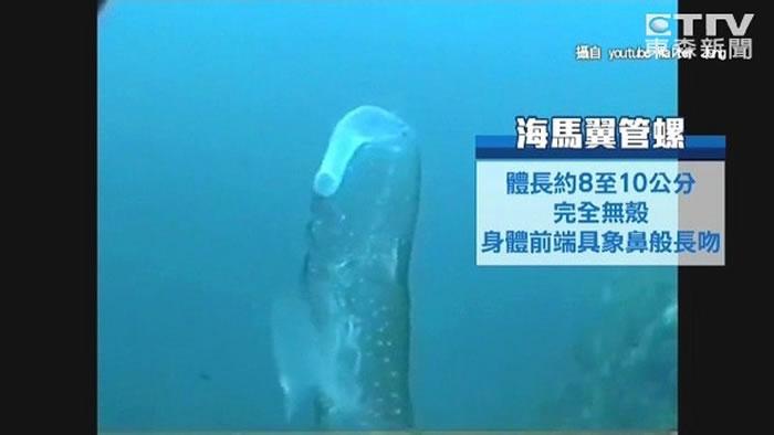 海马翼管螺身体都是透明的,很少被人看到。
