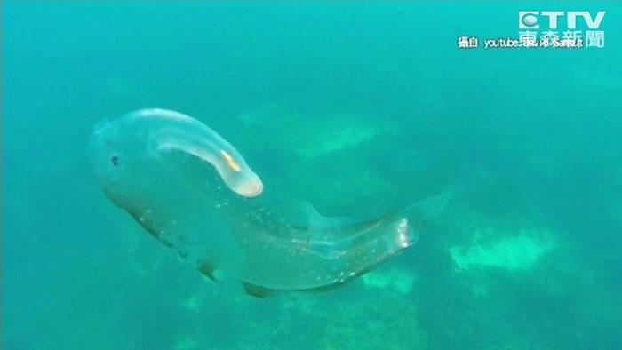 海马翼管螺