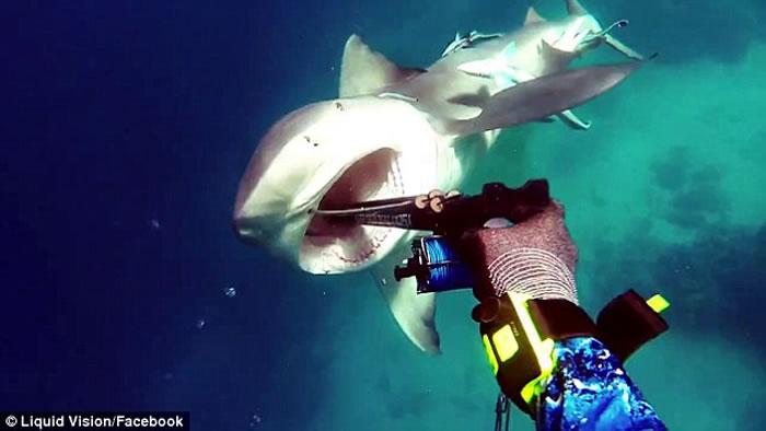 澳洲男子到大堡礁附近海域潜水遇到低鳍真鲨迎面袭击 靠鱼枪刺嘴保命