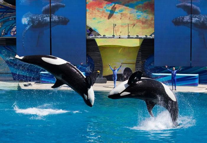 1月8日后,圣地牙哥海洋世界的虎鲸表演将喊卡。图为2014年三月的一场表演活动。 PHOTOGRAPH BY MIKE BLAKE, REUTERS