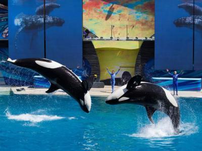 动物保育人士压力和《黑鲸》(Blackfish)点名 美国圣地牙哥海洋世界停止虎鲸演出