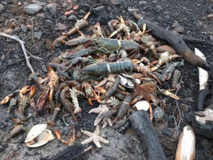 海滩上有数不尽的鱼、龙虾、海星、螃蟹尸体。