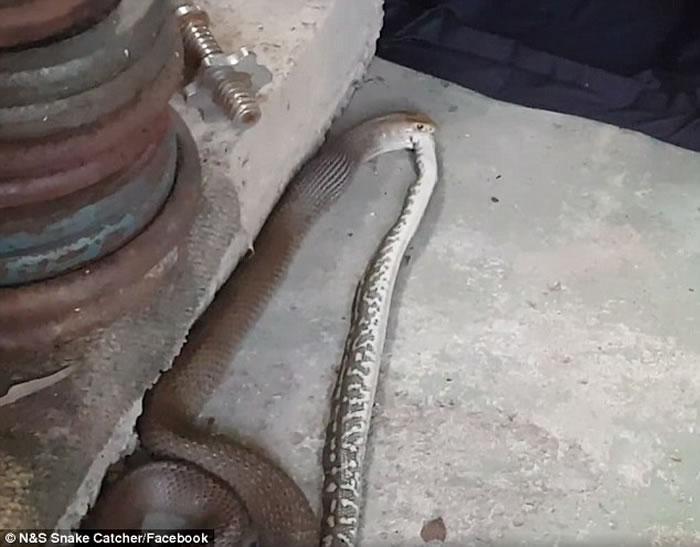 """澳洲布里斯班惊现""""蛇吃蛇"""":东部拟眼镜蛇吞食地毯莫瑞蟒被双双擒获"""