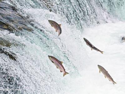 英国苏格兰三文鱼养殖场下药治海虱 或威胁海洋生态