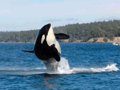 """全球最老杀人鲸105岁""""老奶奶""""或已离世"""