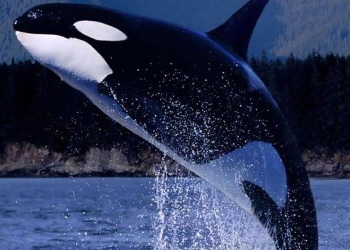 """""""老奶奶""""是杀人鲸专家的研究对象。"""