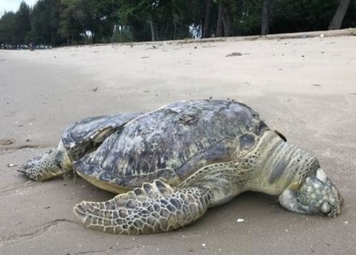 海龟伏尸沙滩。