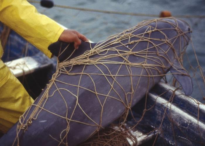 因过分捕获,小头鼠海豚数量已大大减少。