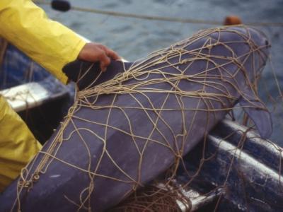 美国海军将与专家合作派出经过特训的海豚救濒危的墨西哥小头鼠海豚
