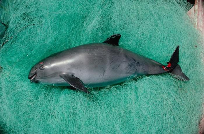 有分析指,若置之不理,小头鼠海豚将会完全绝种。