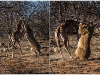 南非小长颈鹿为生存奋战起脚飞踢狮子 最终却难逃厄运