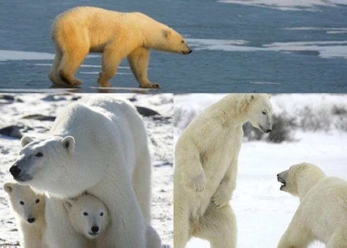 北极熊已受全球暖化导致融冰的威胁。