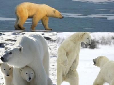 化合物污染生态系统 北极熊中毒风险激增