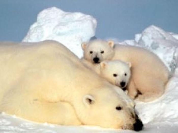化合物污染令大小北极熊生命受威胁。