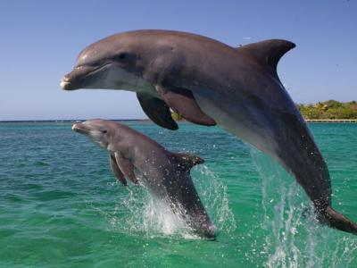 疑不想离弃同伴 日本和歌山县太地町海豚获救却自行返回围网