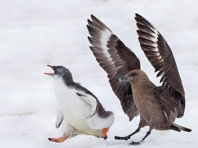 南极小企鹅被贼鸥欺负 鼓起勇气反击吓跑对方