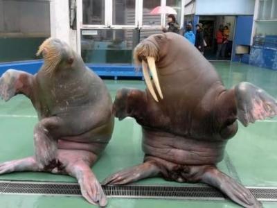 """日本洗脑歌《PPAP》全球风行 海洋生物馆海象也被""""洗脑"""""""