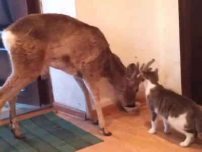 俄罗斯猫咪在家里吃饭 被闯进的野鹿抢食