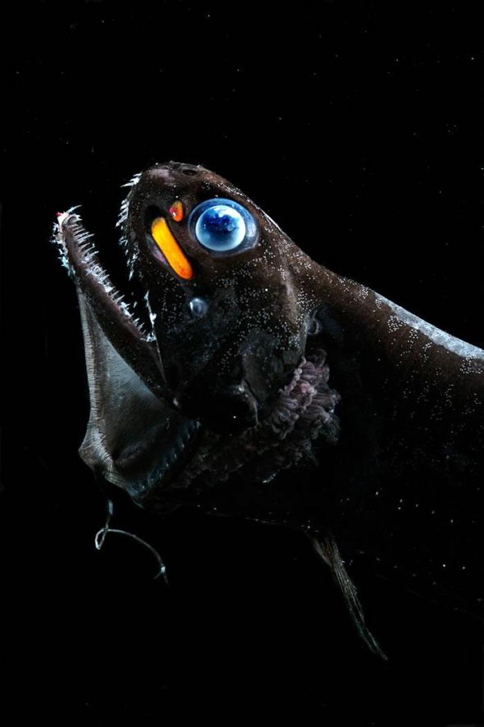 小牙厚巨口鱼(Pachystomias microdon)在眼下有发光器,真是名符其实的「眼红」。 PHOTOGRAPH BY THE OCEAN RESEAR