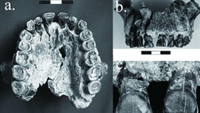 """人类祖先能人的牙齿化石揭示""""右撇子""""如何出现"""