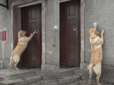 下雪被锁门外 拉布拉多进不了屋取暖猛按门铃