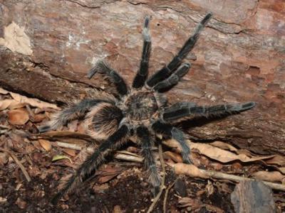 毛蜘蛛也许是右撇子?