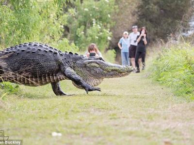史前巨鳄:一只巨大美洲短吻鳄出现在美国佛州野外