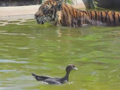 澳洲新南威尔士省野生动物园老虎和小鸭捉迷藏