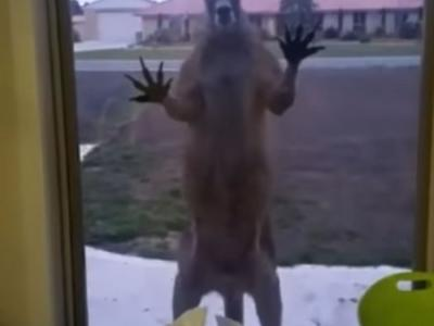 澳洲袋鼠巨爪狂拍玻璃 吓得户主尖叫走避