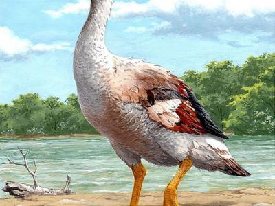 发现地球上曾出现的最大鸟类 数百万年前漫游于地中海