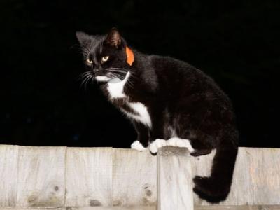 美国公司生产一款装有卫星定位追踪功能的猫颈带