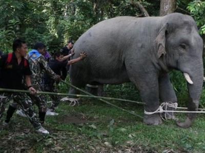 肆虐泰国农庄5个月 500人合力送走两野象