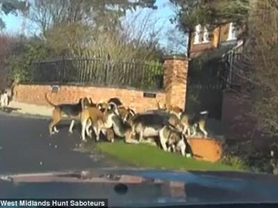 英国狩猎实况直击:一群猎犬疯狂猎杀狐狸