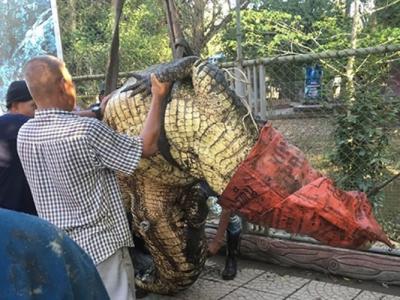 泰国洛坤府巨鳄水灾期间逃走 数十人合力捉回