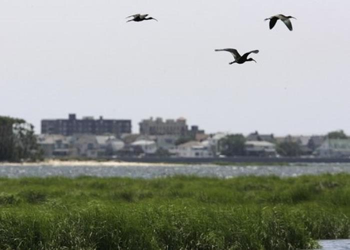纽约当局为航空安全,多年来杀死数万只雀鸟。