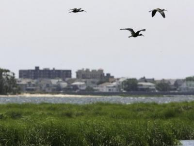 为航空安全 美国纽约巿7年来杀近7万雀鸟