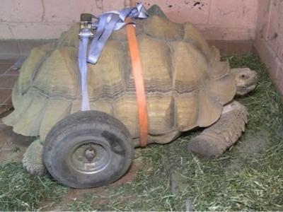 英国诺福克郡乌龟后肢患关节炎 原因竟是交配太多?