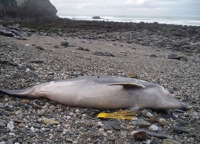 多条海豚尸体被冲上英国西边海岸。