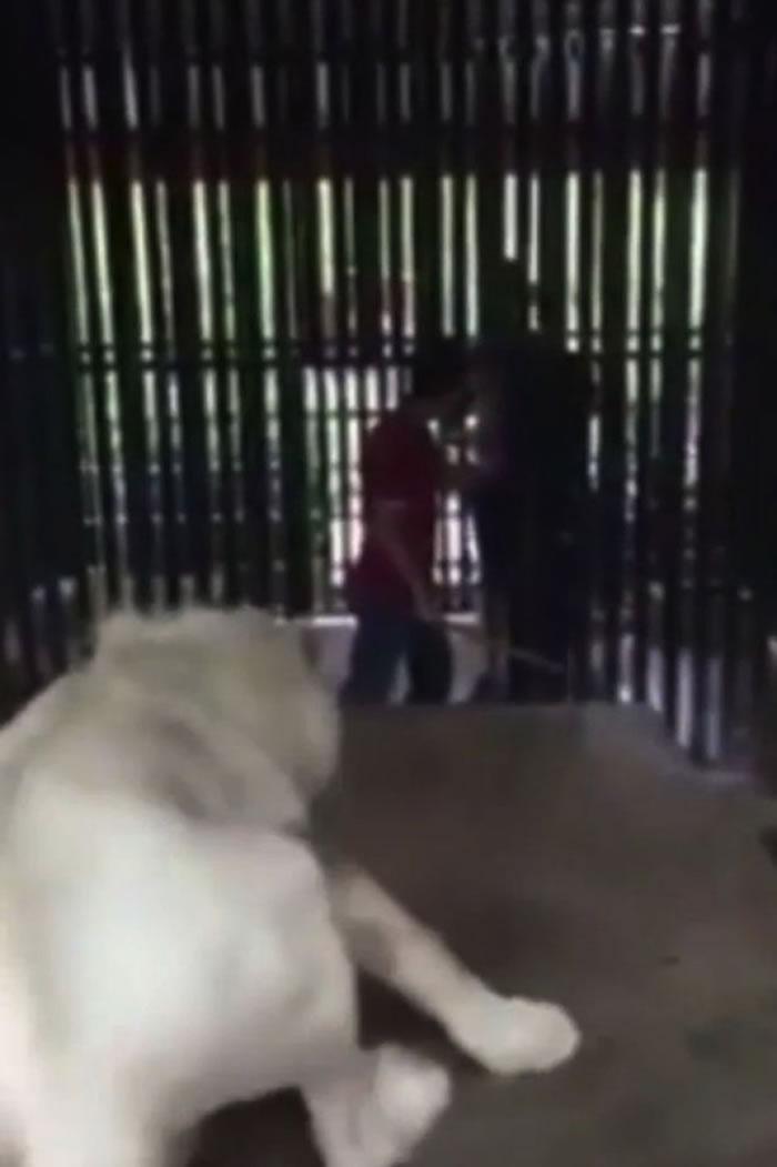 狮子面向游客作威吓状。