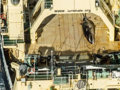 """环保组织""""海洋牧人协会"""":日本渔船违法南极捕鲸"""
