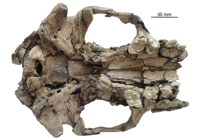 似獾泰国水獭新种头骨颚面观